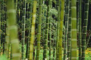 Bambou dans un jardin