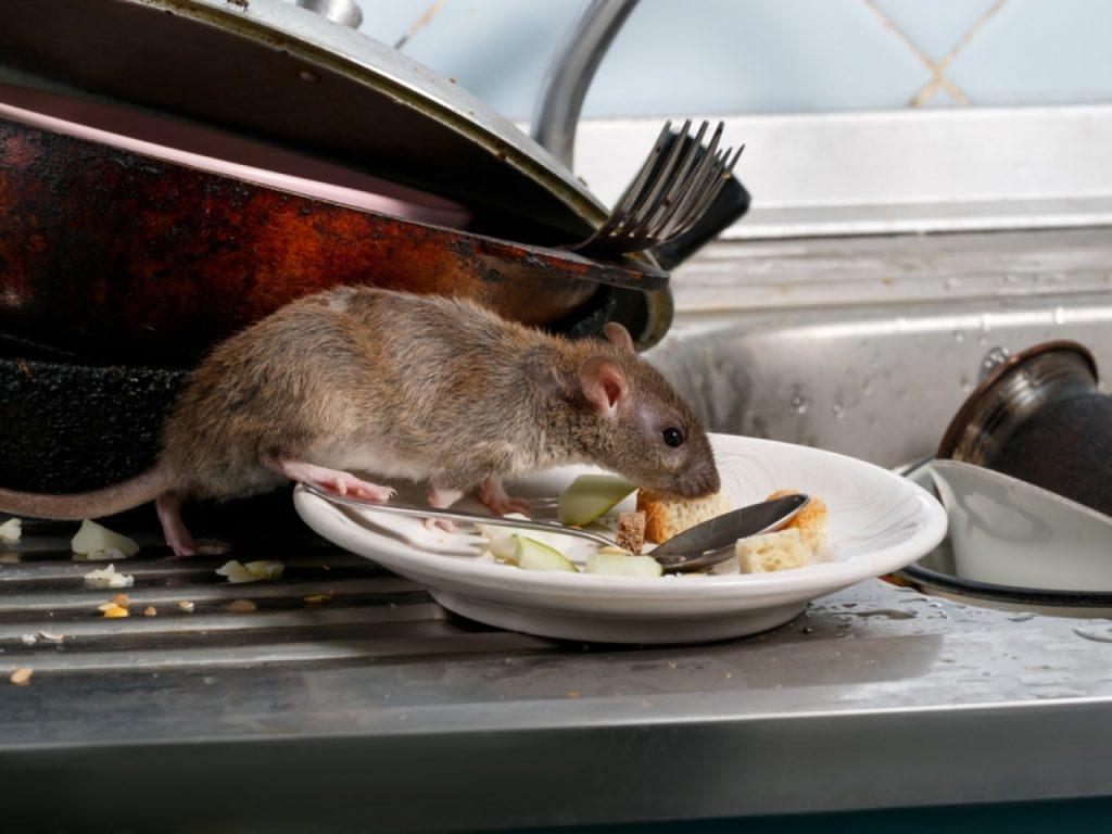 Rat dans un reste de nourriture