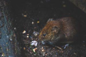 lutter contre les rats